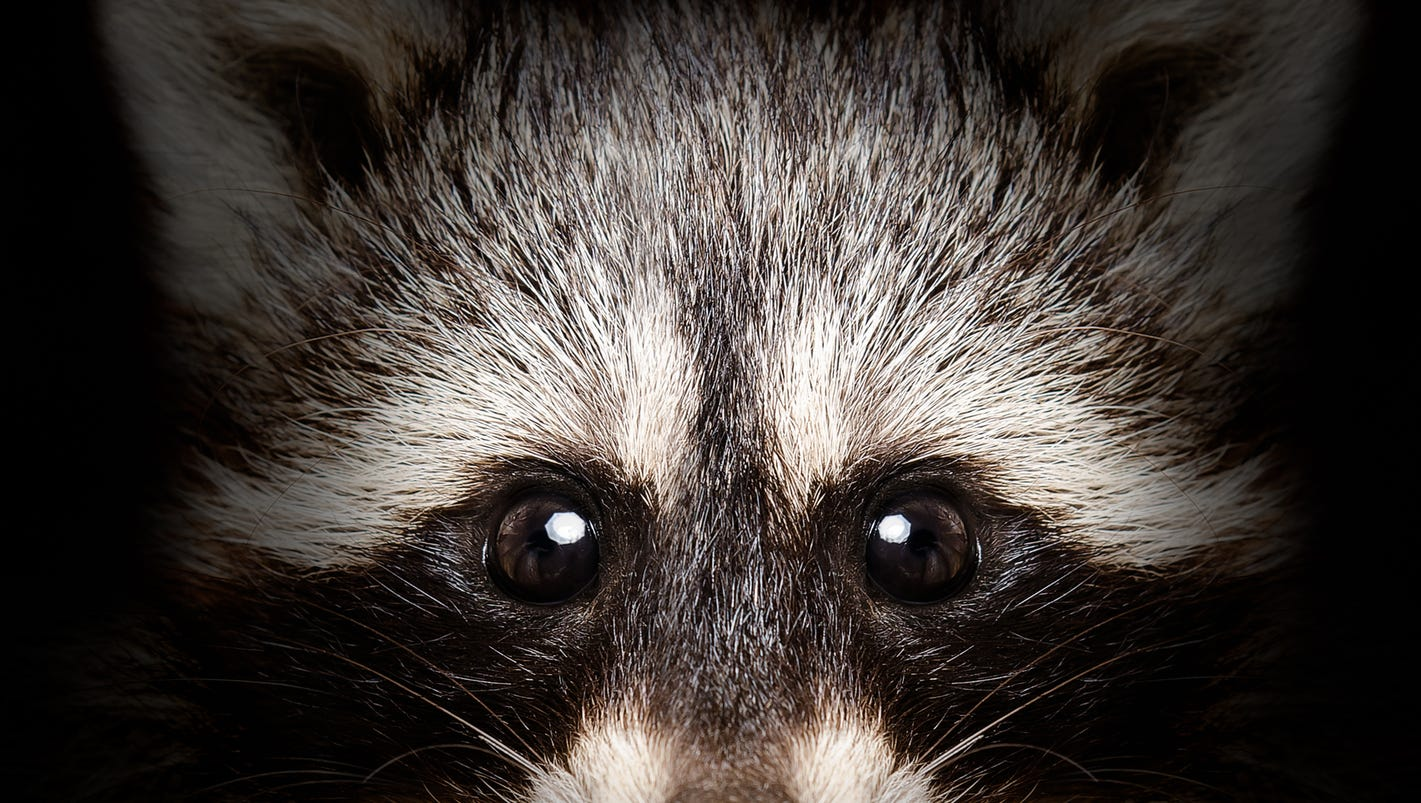 woman drowns rabid raccoon after it attacks her