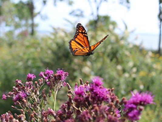 1-monarch-IMG-7865.JPG
