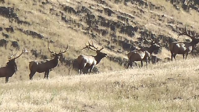 Check out the lead bull in this line of elk on Zumwalt Prairie Preserve.