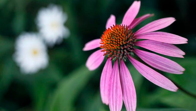 Coneflowers are an easy summer perennial to grow. The O'Dwyers' garden in Mendon, N.Y. on Friday, August 23 2013.