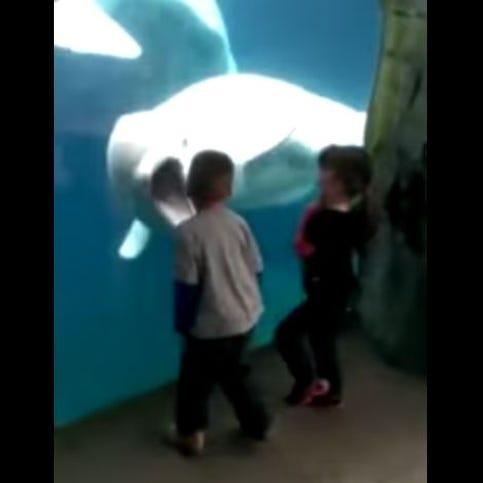 A beluga whale teased a few kids at Mystic Aquarium.