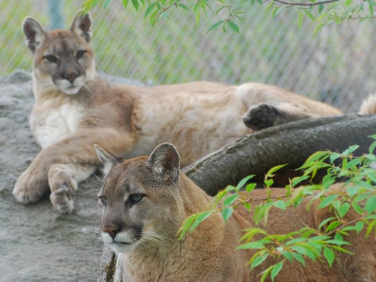 """antigo cougar women One was near merrill and the other was near antigo  as far as we know, there  are no female cougars that have moved into wisconsin,""""."""