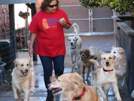 Connie Jimenez of Golden Retriver Rescue of El Paso, gets ready to toss a ball to a group of golden retrievers.