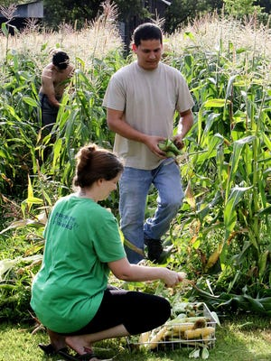 Matthew Thompson, left, Chris Thompson and Deanna Thompson harvest sweet corn in the early morning, Friday, July 3, 2020, from their garden on Tennessee Ridge Road.