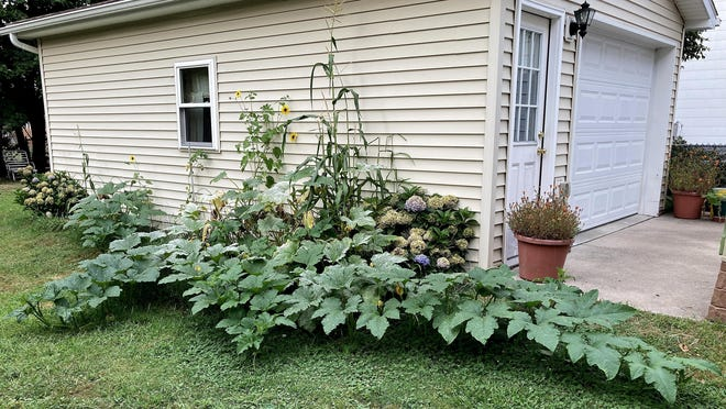 At least five pumpkins are growing, hidden from view by the leaves on the vines, in the Massing backyard in Erie.
