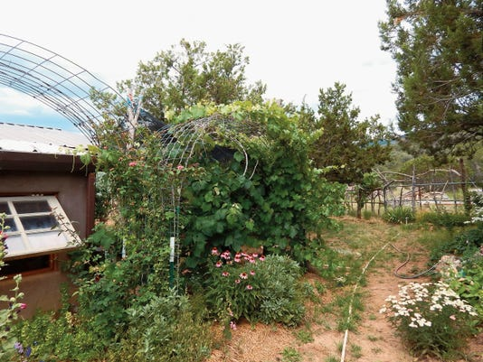 Grape vine and medicinal herbs grow together.