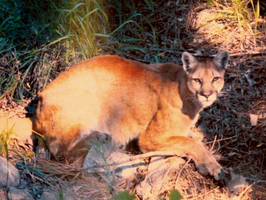 A cougar is discovered in Ruidoso underbrush guarding the remains of a deer.