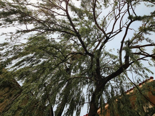 This willow tree on the Western New Mexico University campus, near the Miller Library, was buzzing with cicadas Tuesday morning. Randal Seyler - Sun-News