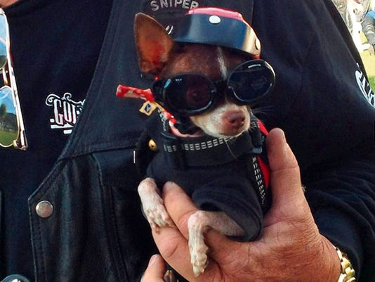 This little pooch is geared up and ready to ride at the annual Golden Aspen Motorcycle Rally at the Inn of the Mountain Gods today through Sunday.