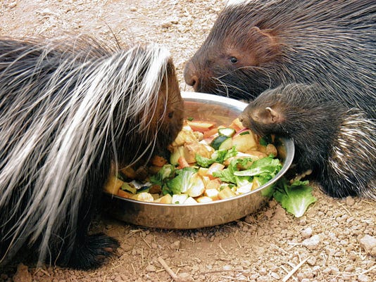 Cornelius and Thumbelina eat with one of their two recently born porcupine babies Sunday. These are the first porcupine babies to be born at the Alameda Park Zoo. The porcupine babies are approximately two weeks old. African Crested Porcupines are the largest breed of all porcupines and are nocturnal.