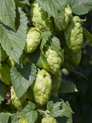 The flowers or cones of a hops plant are seen on a female plant.