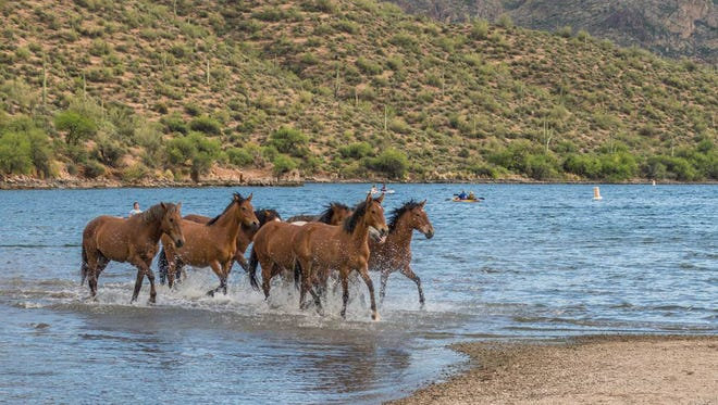 """Wild horses of the Salt River keeping the West wild,"" writes Alex Fitzhugh of Gilbert about the moment he captured at Butcher Jones recreation area along Saguaro Lake. See more of his photos at instagram.com/afitzu."