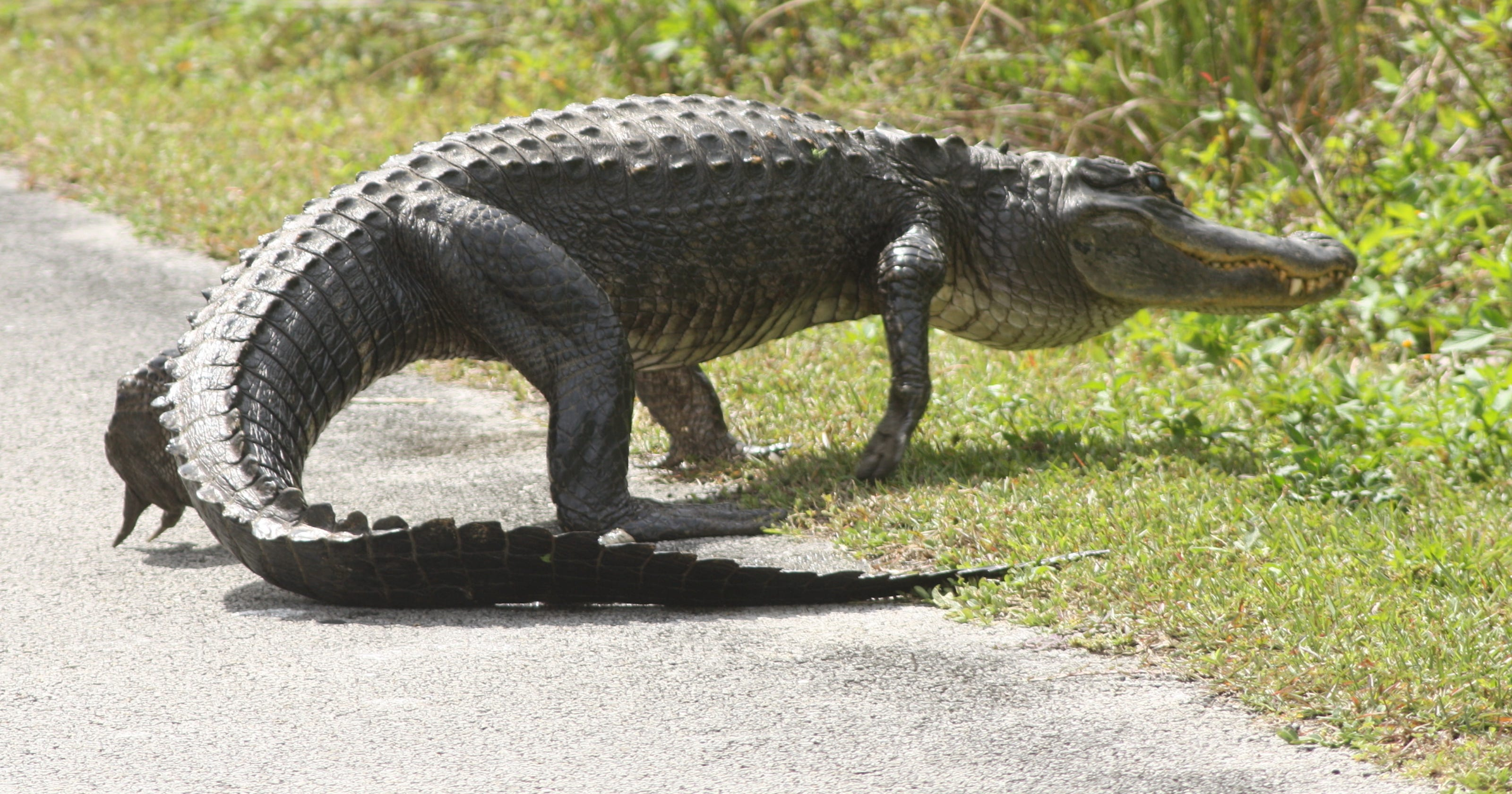 Alligator in road blamed in crash that killed mom and 2 ...