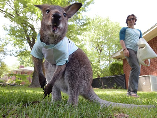 Jack, a wallaby, plays in his Nashville backyard while