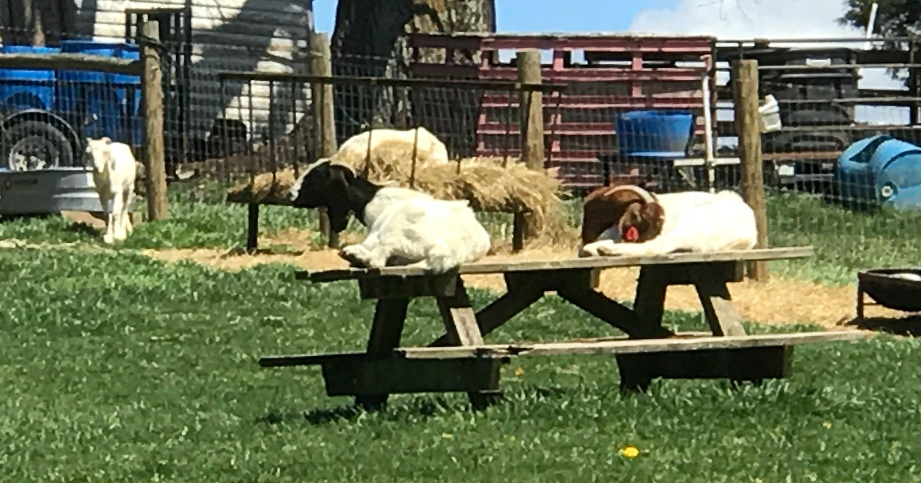 Graze anatomy: Goats grow in Augusta County