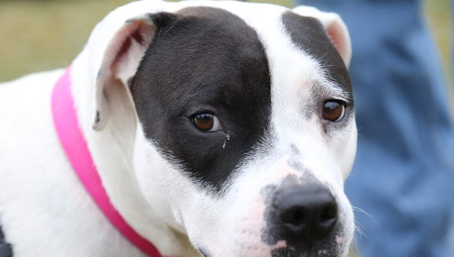 Dumpling a 2 year old female dog up for adoption at the Dutchess County SPCA in Hyde Park on April 4, 2018. Dumpling was brought to Dutchess from the Atlanta metro area, she was picked up as a stray.
