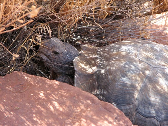 A desert tortoise enjoys the shade from a bush in the