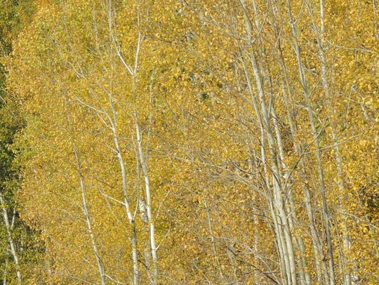Birches and aspens decorate the countryside in ribbons