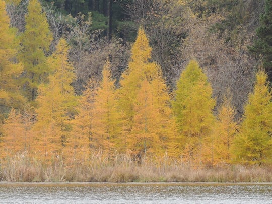 Swamps and moist areas are the preferred habitat of tamaracks in the wild.