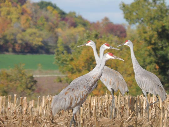 The sandhill cranes continue to gather throughout November