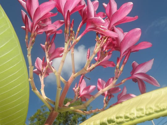 File: Frangipani is the fragrant flower used in Hawaii to make leis.