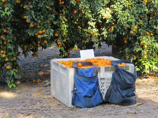 Pixie tangerines and other locally grown citrus are the focus of orchard tours offered Jan. 28-May 13 in the Ojai Valley.