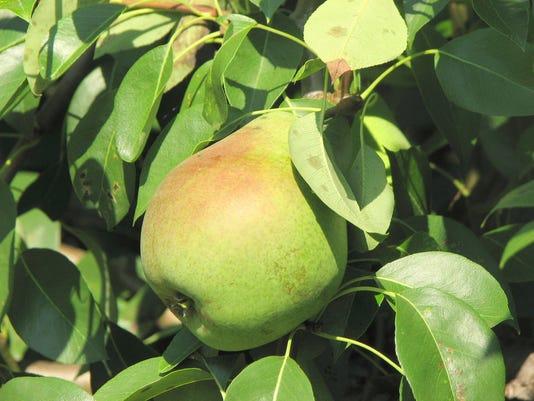 636392036769733181-08-27-2017-Pear-fruit.JPG
