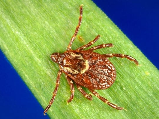 The wood tick, also known as the American dog tick, is one of the most commonly encountered. Wood ticks can be associated with certain human diseases, such as Rocky Mountain spotted fever, although the threat of this disease in the Midwest is low.