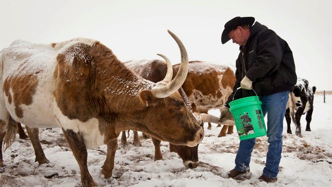"""Rancher Gary Lake feeds a dietary supplement to some of his herd of Texas Longhorn cattle in eastern El Paso County, CO. The herd is part of a beta testing program of a """"fitbit"""" like chip tagged to the cattle's ear and transmits bio-data through a smartphone app."""