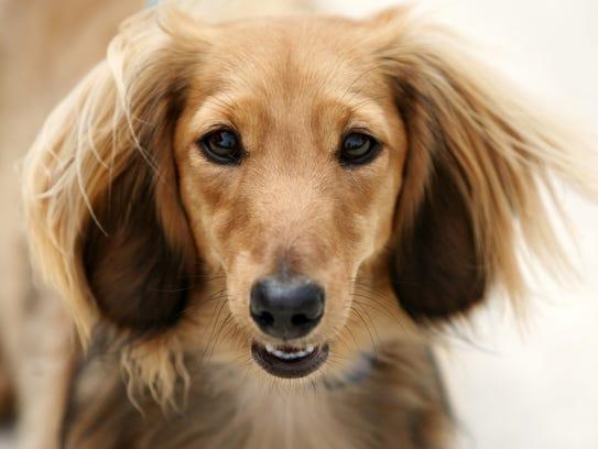 dachshund_JT_072014_5721.JPG