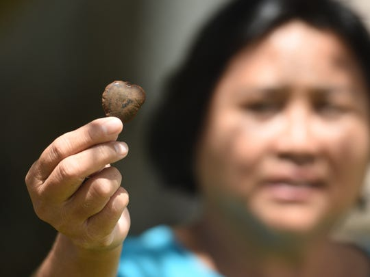 Forester Belmina Soliva holds out a single seed she found at the base of an ifit tree at Guam Department of Agriculture in Mangilao on Friday, May 11, 2018.