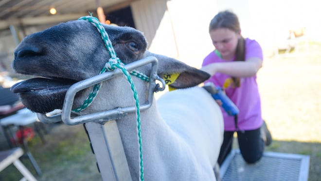 Students prepare and exhibit animals at the 39th Annual Acadiana District Livestock Show at Blackham Coliseum on Jan 29.