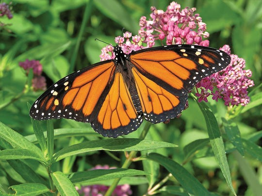 Planting milkweed and colorful asters will attract