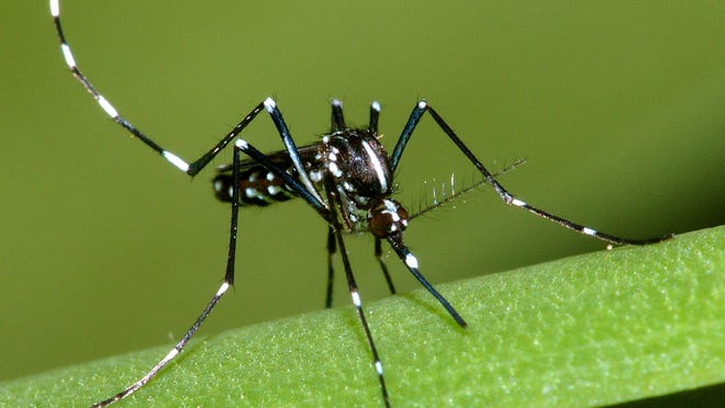 Asian Tiger Mosquitoes, which carry chikungunya, are found in New Jersey.