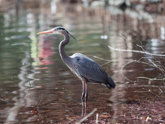 A Great Blue Heron wades in water during the Wildlife-Friendly
