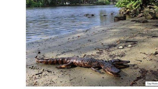 Facebook screenshot shows a photo of a supposed two-headed alligator on the bank of the Hillsborough River.