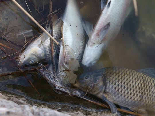 Dead fish, including shad and carp, are seen floating in a section of the western side of Ascarate Lake on Tuesday.