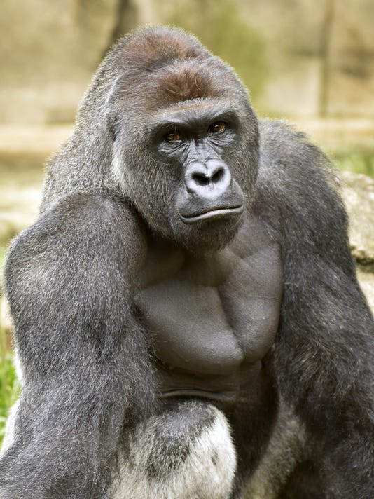 June 20, 2015: Cincinnati Zoo and Botanical Garden, Gorilla, Jeff McCurry