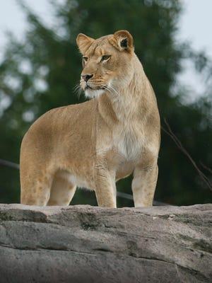 One of the two African lions leaving the Seneca Park Zoo for the Milwaukee County Zoo checks out the scenery from the top of a rock.