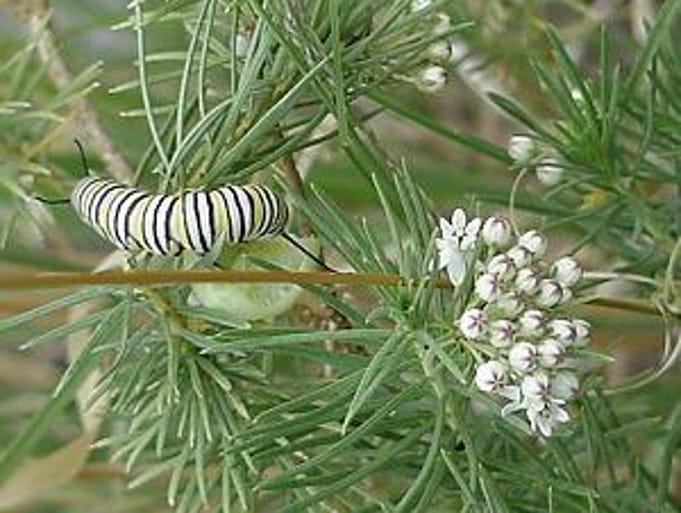 Pine-needle Milkweed (Asclepias linaria)