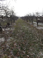 Rows of apple trees at Erwin Orchards in January 2017.