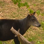 Chester is a Yellow Backed Duiker.
