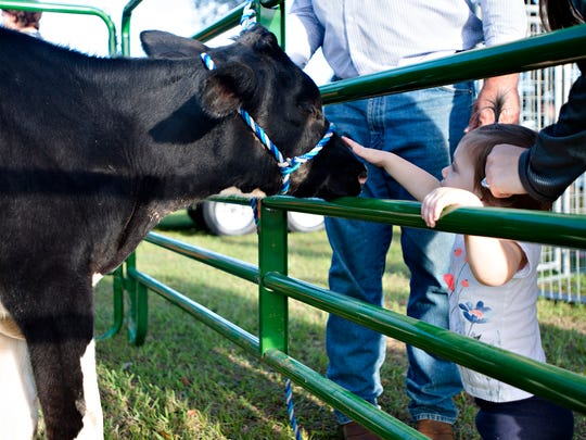Leyton Ivey pets a cow during the Farm-City Family Festival at the Bartlett Ranch in Pike Road, Ala., on Monday, Oct. 16, 2017.