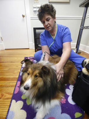 Dr. Melanie Donofro uses a laser treatment at her office to stimulate the muscles of Spike, a 4-year-old Sheltie, at Los Robles Animal Hospital in this file photo. Her work was recognized at a ceremony at the Florida Veterinary Medical Association on July 9, 2021.