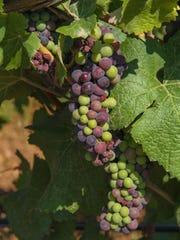 Near right: Pinot noir grapes are beginning to mature on the vines.