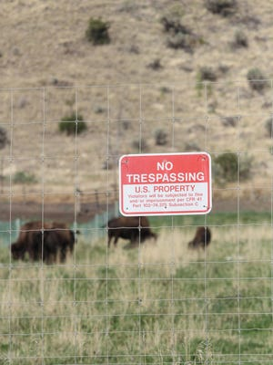 Buffalo on a USDA station north of Yellowstone National Park are part of an experiment to fight the spread of brucellosis.