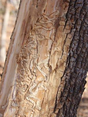 These winding tracks were left by an emerald ash borer beetle larva in an ash tree near Lebanon.