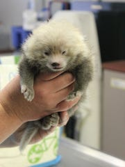 A newborn red panda cub at the Binghamton Zoo.