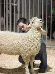 A young exhibitor practices setting up her lamb in