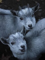 Pygmy goats Athena and Zeus are just two of the cute residents at the Binghamton Zoo.